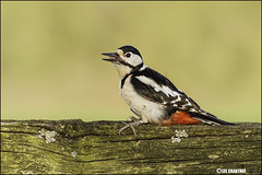 great spotted woodpecker _4488 (Lee Crabtree photography) Tags: woodpecker great spotted
