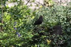 Aderyn Du / Blackbird (Ellyll) Tags: bird wales cymru blackbird gwynedd caernarfon aderyn aderyndu 20140427