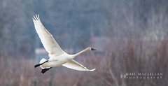 Tundra Swan-001.jpg (Gail MacLellan) Tags: birds tundraswan ducksgeeseandswans 1animalsanimalia
