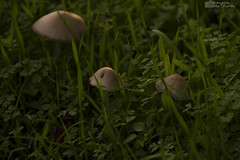 Expedicin Funghi (Mar Cifuentes) Tags: chile naturaleza macro nature mushroom natureza fungi funghi hongo hongos cajondelmaipo