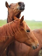 ransboro pals (niallio77) Tags: ireland horses pets animals caballo chestnut animali equine mane countysligo irishcountryside