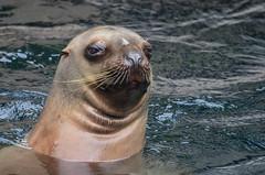 Steller Sea Lion (ajblake05) Tags: canada animals vancouver britishcolumbia northamerica stanleypark vancouveraquarium captive mammals vertebrates lowermainland greatervancouver stellersealion otariidae vertebrata eumetopiasjubatus