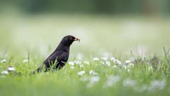 Blackbird (The Wasp Factory) Tags: male turdusmerula blackbird gttingen amsel niedersachsen mnnchen kiessee commonblackbird schwarzdrossel kiesseegttingen