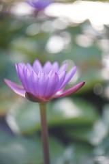 Lotus (ah.b ack) Tags: flower 50mm open lotus bokeh sony voigtlander wide f2 ultron a7ii prominent a7mk2