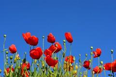 Primary Colors . (  colors primaris  . ) (Alex Nebot) Tags: red sky sun flower verde green tallo primavera sol fleur field rojo nikon flor cel cielo poppy campo tamron rosella 18200 penedes tarragona tarragones roja spirng amapola solet capullos tgn vendrell nikonista baixpenedes d7200