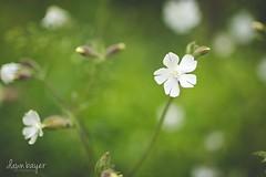3K7A5818 (crazydawn2) Tags: flower spring weed