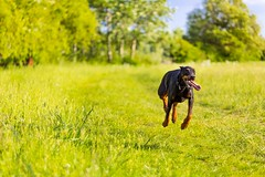 Fast and Fearless (icemanphotos) Tags: dog green speed bokeh fast run doberman