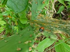 getting after aphids_50669 (San Marcos Greenbelt Alliance) Tags: flowercloseups ringtailridge sanmarcosgreenbeltalliance smgaphotobylancejones