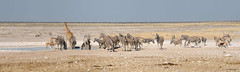 Taleni Etosha Village (Namibia Adventure) Tags: africa white black nature water animal fauna mammal drink african wildlife zebra giraffe ungulate namibia equine oryx etosha springbok gemsbok burchellszebra giraffacamelopardalisangolensis etoshanationalpark equid equusquaggaburchellii