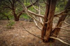 Time in the woods (MichaelSOwens) Tags: trees texture forest woods coastal bark trunks hdr fernandinabeach fortclinchstatepark ameliaislandflorida southernredcedar bleachedlimbs