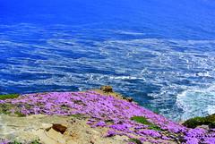 Point Reyes Peninsula (ivlys) Tags: ocean california flowers sea usa nature meer pacific blumen delosperma mittagsblume halbinsel pointreyespeninsula ivlys