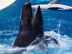Dance with Smile (EmilyOrca) Tags: show blue light black water pool smile face mouth mammal aquarium marine teeth splash cetacean falsekillerwhale