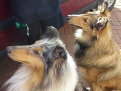 Benji and Jasmine ! (Mara 1) Tags: red pets white black dogs car animals fur outdoors faces fawn rough collies