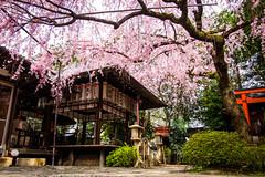 sakura '16 - cherry blossoms #20 (Suika Tenmangu shrine, Kyoto) (Marser) Tags: flower japan cherry kyoto shrine raw fuji   lightroom  xt10