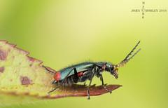 Red-tipped flower beetle (John Chorley) Tags: macro nature closeup nikon beetle macrophotography 2016 nikkor105mmlens redtippedflowerbeetle johnchorley