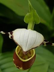 Orhcid (johanssoneva) Tags: orchid flower gteborg blomma graden orkide trdgrden gothenborg bontanical bontaniska
