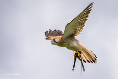 Australian Kestrel - So graceful 710_8269.jpg (Mobile Lynn) Tags: oreilly nature birds au australia queensland captive birdsofprey kestrel