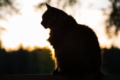 Cat in sunset (olaekelund) Tags: light sunset summer animal contrast cat bright canonef70200mmf4lusm canoneos5dmarkiii