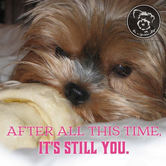 I dont see that changing, ever. (itsayorkielife) Tags: yorkiememe yorkie yorkshireterrier quote