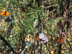 Monach Butterflys (Harriet and Spare Cat) Tags: monachbutterfly clustertogether winterover times hard