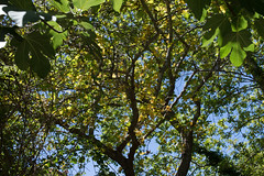(Psinthos.Net) Tags: trees light shadow summer sky sunlight tree nature leaves june countryside day fig bluesky treetrunk noon sunrays planetrees treebranches figtree sunnyday planetree figleaves        psinthos