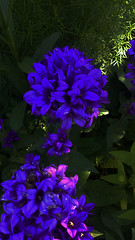 blueflower3 (jurinkof) Tags: fleurs blten blauen  kvety bleues kvty modr