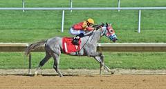 RB NASH (susanmbarlow) Tags: horse photograph horseracing delaware arabian arabianhorse equine equus horserace delawarepark equidae equusferuscaballus arabianracing ricardochiappe delparkracing rbnash