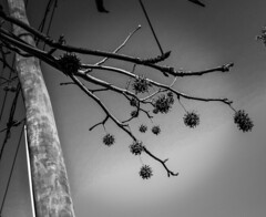Autumn leaves against the sky (Moar Noir!) Tags: sky blackandwhite silhouette sydney autumnleaves powerlines seedpods powerpole liquidamber