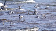 Adult Alternate Plumage Black Tern (Chlidonias niger) (Steve Arena) Tags: nikon provincetown massachusetts d750 tern 2016 racepoint blacktern chlidoniasniger marshtern barnstablecounty blte racepointpoint