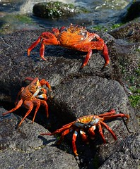 Sally-lightfoot crabs on Fernandina Island, the Galapagos. (One more shot Rog) Tags: nature island wildlife crab sally galapagos crabs volcanic sargent galapagoscrab sallylightfootcrabs lightfootislansthe galapagosanimalscrustaceanscrabbiroger photographyfernandinafernandina