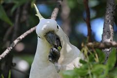 cooks-river-120716-018 (alison.klein) Tags: cockatoo australianbirds cooksriver