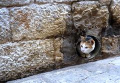 Curious Cat (RJAB2012) Tags: orange cat kitten croatia 100v10f drainpipe dubrovnic mouser ratcatcher