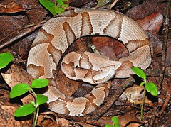 Copperhead (U.S. Fish and Wildlife Service - Midwest Region) Tags: snake snakes copperhead missouri mo neosho nfh hatchery spring summer june 2016 wildlife nature reptile camouflage animal animals