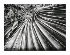 Mexican Palm Leaf, Pahrump, NV (Vincent Galassi) Tags: usa plant flower botanical lasvegas nevada vincent nv pahrump galassi vgphoto vincentgalassicom mexicanpalmleaf
