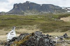 L'animal dans son milieu... (Les Frres des Bois) Tags: de landscape island iceland paysage ptarmigan rocher sland champ oiseaux islande lave montagnes volcanique grandangle mle champsdelave perdrixdesneiges