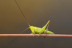 Grasshopper (Artur Rydzewski) Tags: macro green nature animal insect ngc grasshopper closup hopper skoczek konikpolny