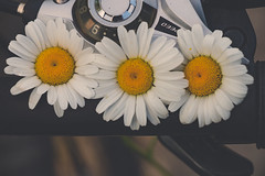 Daisies (A Great Capture) Tags: flower flowers urban yellow white peddles bike handle asteraceae plantae anthophyta magnoliopsida asterales bellis agreatcapture agc wwwagreatcapturecom adjm toronto on ontario canada canadian photographer ash2276 ashleylduffus ald mobilejay summer summertime 2016 bicycle ride firstdayofsummer fleurs fleur speed handlebars gear ig jaune