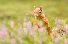 Eekhoorn / Red squirrel / Ecureuil (Gladys Klip) Tags: explore redsquirrel cureuil eekhoorn