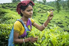 Srimangal-6237 (BohemianTraveler) Tags: asia tea bangladesh srimangal srimongol sreemangal
