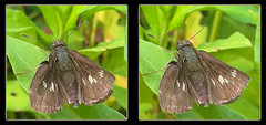 Resting Female Zabulon Skipper, Poanes Zabulon Butterfly 3 - Crosseye 3D (DarkOnus) Tags: macro beautiful closeup female butterfly bug stereogram 3d crosseye phone pennsylvania butt skipper cell 8 stereo resting mate thursday stereography buckscounty huawei crossview poanes zabulon beautifulbugbuttthursday darkonus