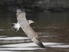 Herring Gull (Frode Falkenberg) Tags: birds norway gulls hordaland larusargentatus fugler herringgull mker grmke