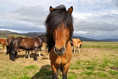 (Steini789) Tags: horse nature field iceland flies icelandichorse