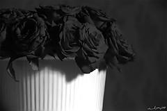 (Aljazi Al-Akoor) Tags: black flower rose aljazi abdelmohsen