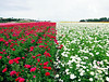 Imperfect Symmetry at The Flower Fields (TheJudge310) Tags: california flowers red usa white field march spring carlsbad 2012 theflowerfield canonpowershots95