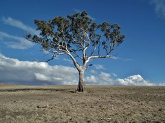 no tree stands alone (75kombi) Tags: tree fuji gumtree fujifinepix hs10 fujihs10 woorndoo rkt007