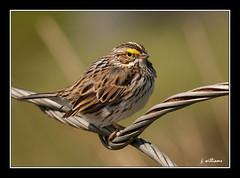 Savannah Sparrow at Renews (Tomcod) Tags: bird nature newfoundland spring wings singing wildlife tail beak feathers sparrow avalon avian songsparrow renews