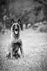 bw-1 (Soul Dog Studios) Tags: portrait dog rain canon shepherd belgian malinois epic dynamutt eeeeeeeepix