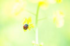 Pollen-Laden Lady (*Sakura*) Tags: red flower macro green nature yellow japan tokyo spring ladybird ladybug  mustard sakura  canola  rapeblossoms
