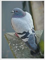Taube - pigeon