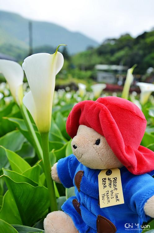 2012竹子湖海芋季-海芋15.jpg